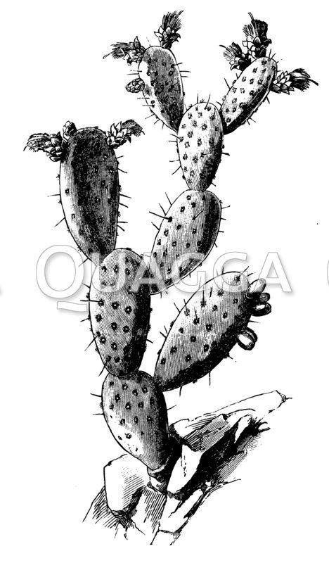 Cochenille-Kaktus