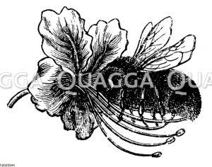Rosskastanie: Blüte mit Hummel