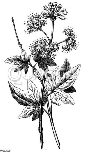 Efeu: Blattzweig und Blüten