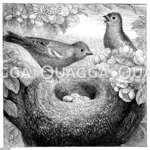 Buchfinken am Nest