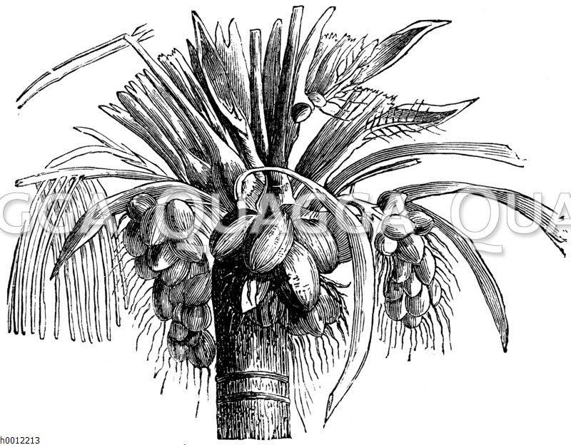 Kokospalme: Krone