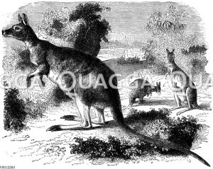 Känguruh