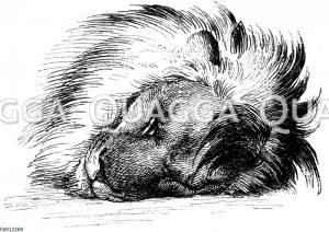 Kopf eines schlafenden Löwen