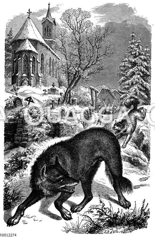 Wolf wird von Hund verjagt