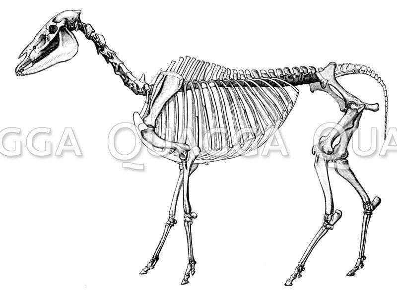 Hipparion: Skelett