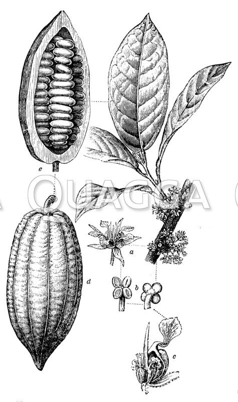 Kakaobaum mit Blüte und Frucht