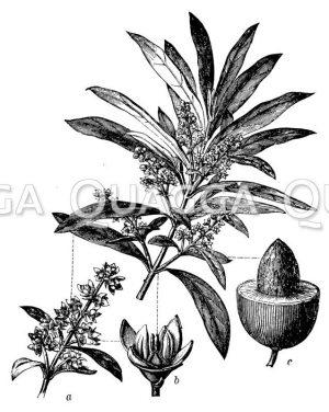Kaffeepflanze mit Blüte und Frucht