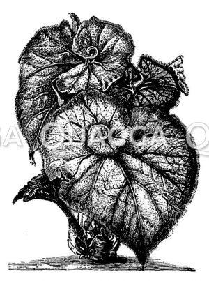 Begonia spiralis
