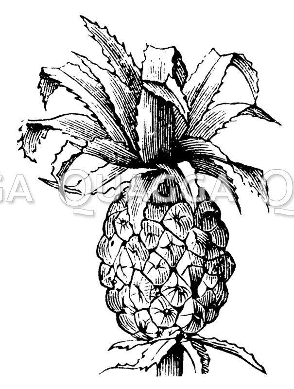 Ananas: Frucht