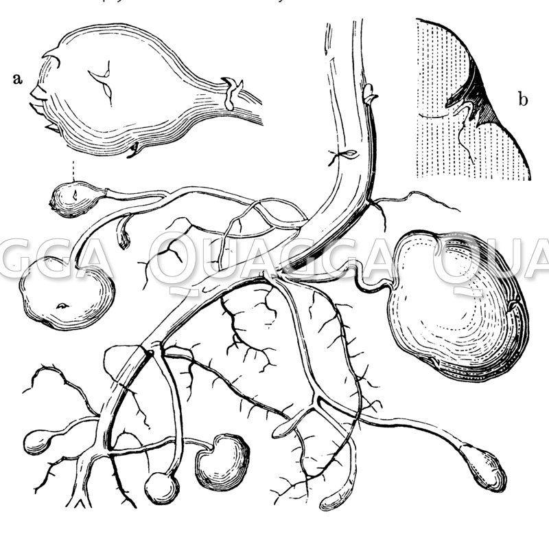 Kartoffel: Stengel mit Zweigen