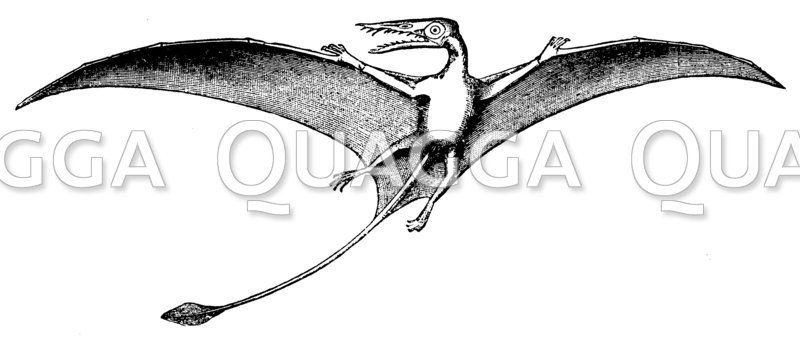 Rhamporhynchus phyllurus: Restauration