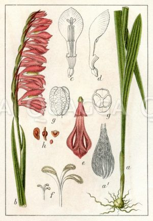 Dichtblütiger Gladiolus