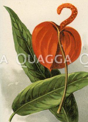 Anthurium Scherzianum