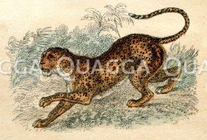 Gepard (Jagdleopard)