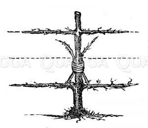 Spalierpfirsichbaum