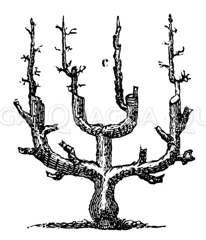 Älterer Spalier-Birnbaum in doppelter U-Form