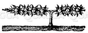 Apfelfranzbaum