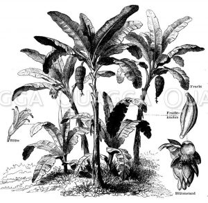 Bananenstauden mit Blüte und Frucht