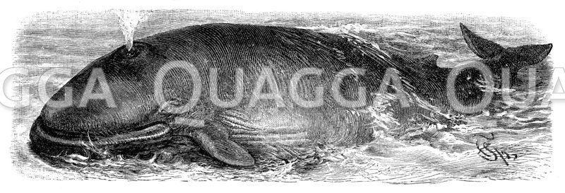 Nordischer Finnwal