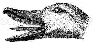 Kopf einer Wildente mit Siebschnabel