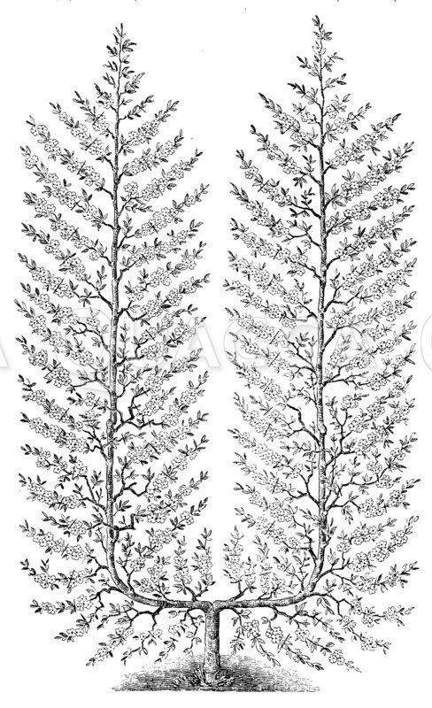 Pfirsichspalierbaum