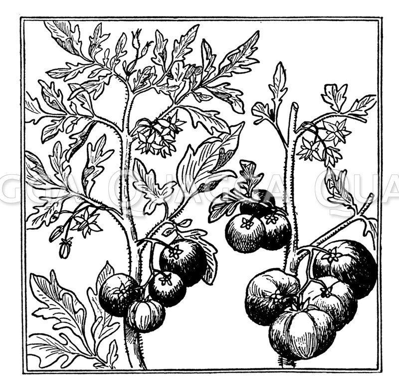Ausgeizen von Tomatenpflanzen