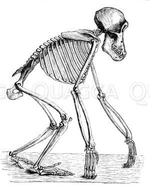 Schimpanse: Skelett