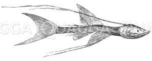 Bathypterois longicauda