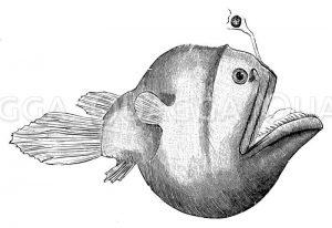 Ceratias bispinosus