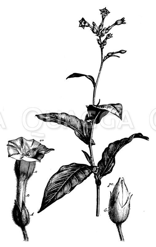Tabakspflanze mit Blüte und Frucht
