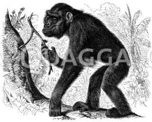 Gorilla. Aufrechter Gang des jungen Gorilla