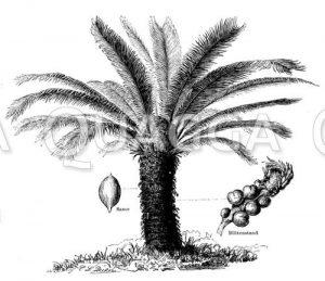 Japanischer Palmfarn