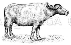 Wasserbüffel (Karbau)