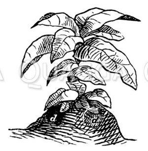 Reife Tabakpflanze