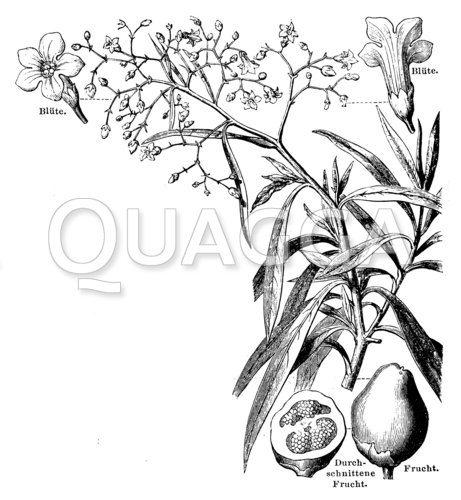 Duboisia myoporoides
