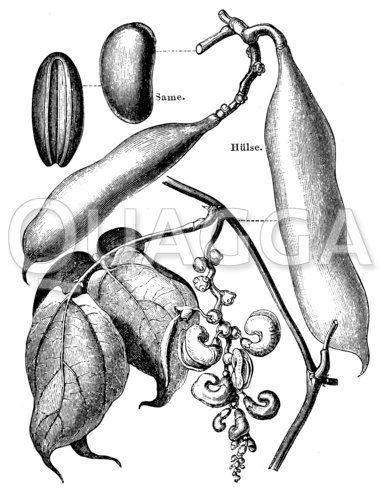 Kalabarbohne auch Gottesurteilbohne