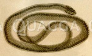 Skelett einer Schlange