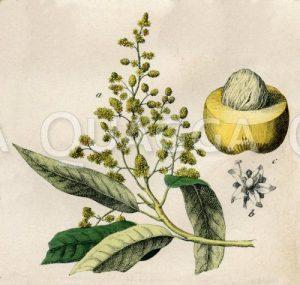 Indischer Mangobaum