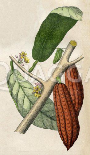 Kakaobaum mit Frucht