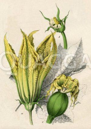 Kürbis (Kürbisblüte und Fruchtansatz)