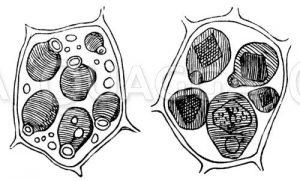 Aleuronkörner in der Zelle des Endosperms von Ricinus communis
