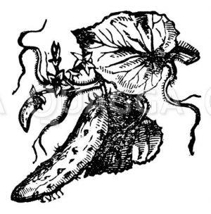 Gurkenpflanze