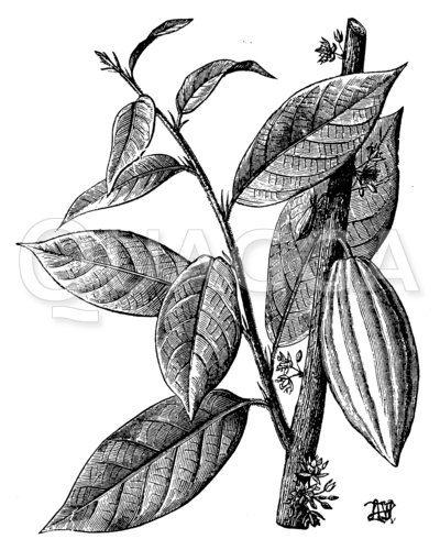 Kakaopflanze mit Frucht