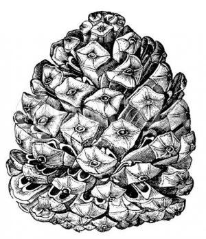 Pinienzapfen