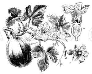 Kürbispflanze mit Blüte und Frucht