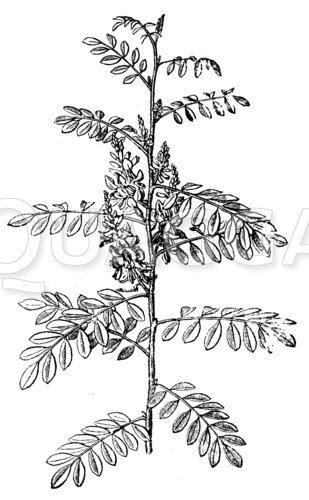 Indigopflanze