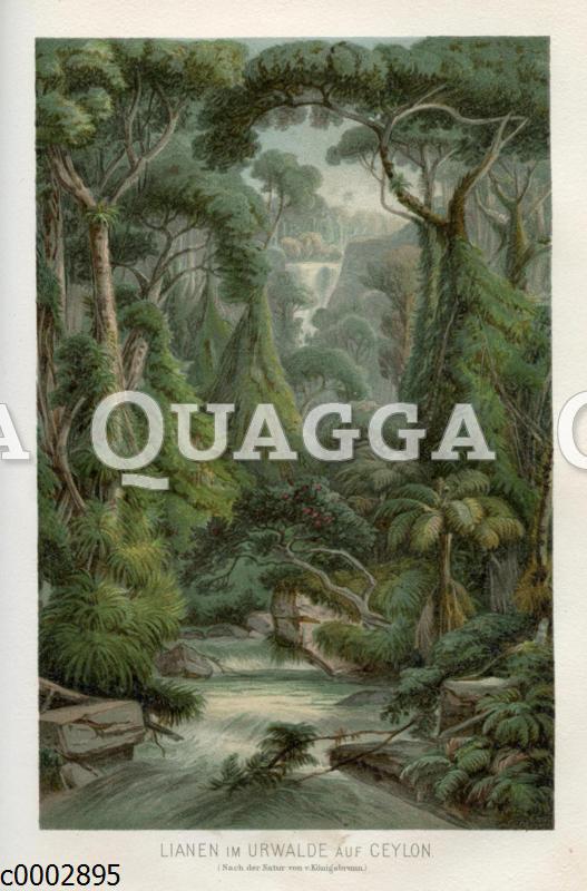 Lianen im Dschungel von Ceylon / Sri Lanka