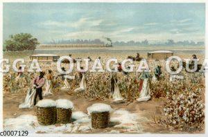Baumwollernte in den südlichen Vereinigten Staaten