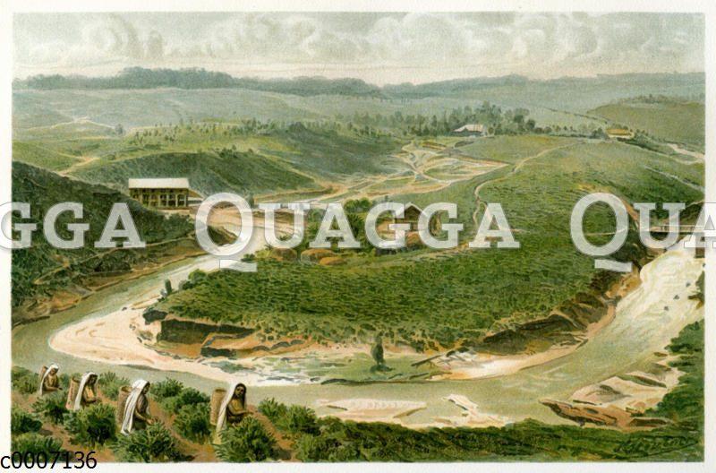 Teeplantage auf Ceylon