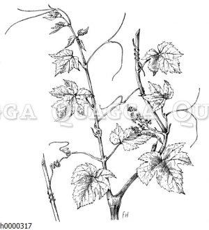 Weinstock  mit Blüte